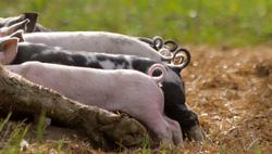 Little Pigtails
