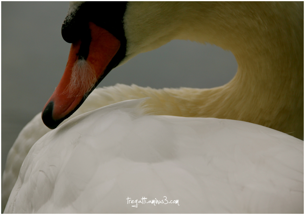 swan, feather