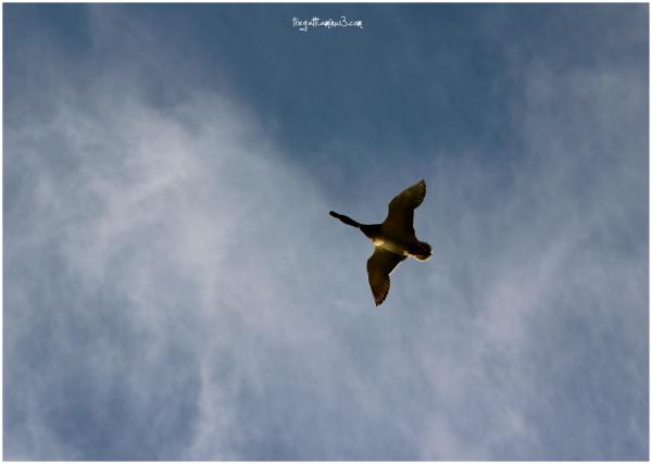 duck, sky