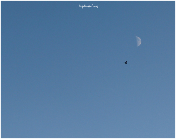 bird, moon, sky