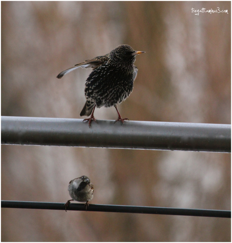 starling, sparrow