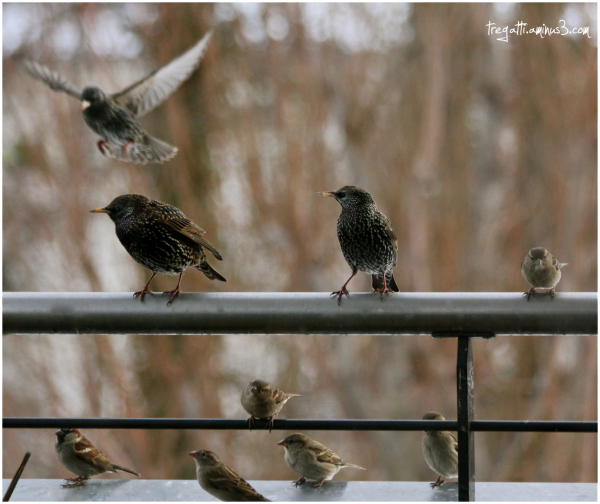 sparrow, starlings