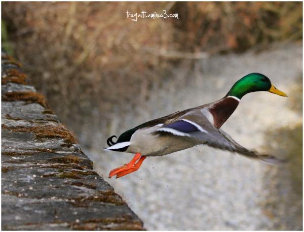 mallard, duck