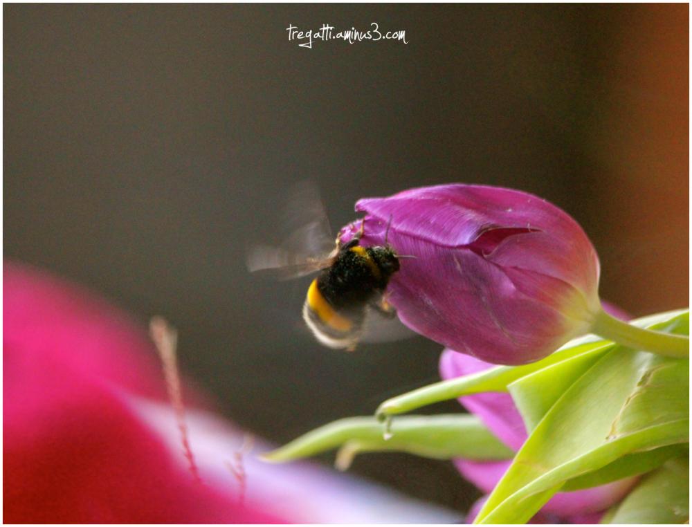 bumblebee, tulip