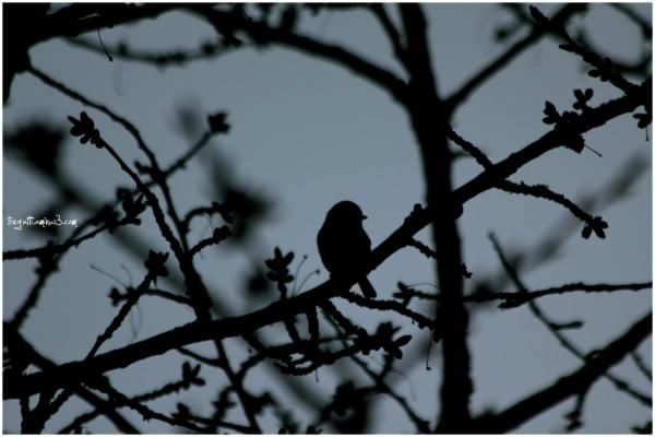 cherry tree, spring, bird