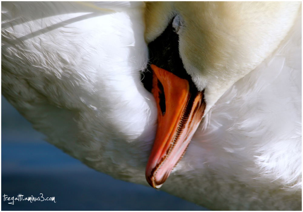 swan, sleep