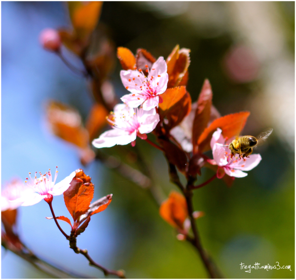 bee, blossoms, spring