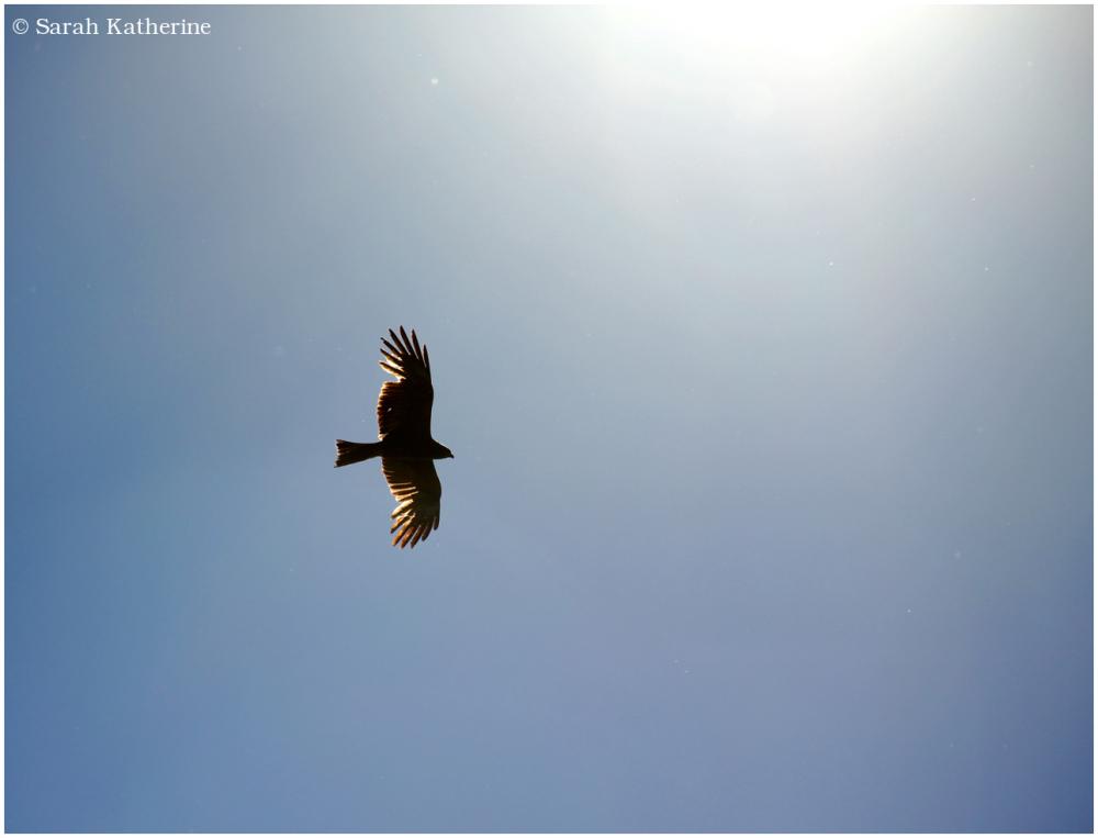 black kite, sunlight