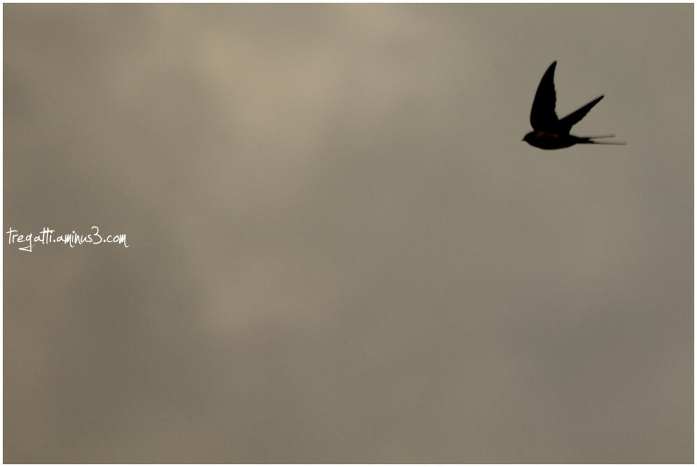 swallow, hirondelle