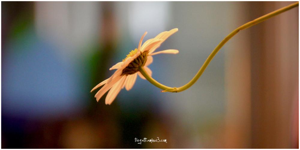 daisy, stem
