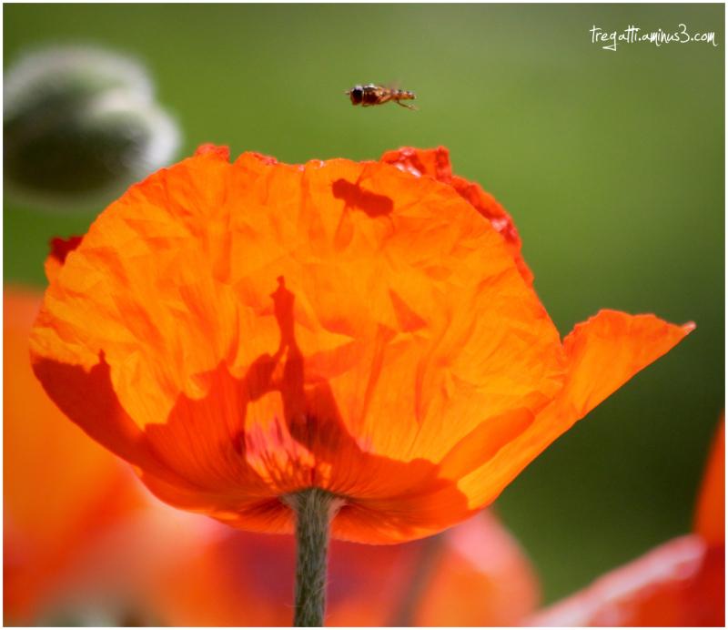 bee, shadow, poppy