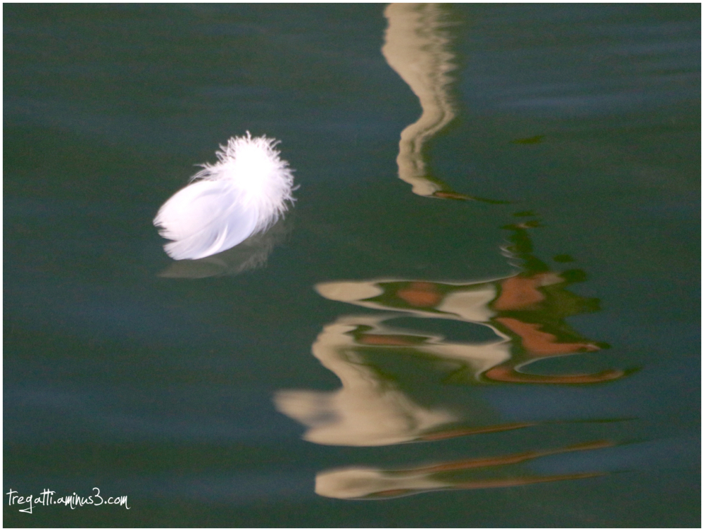 swan, reflection