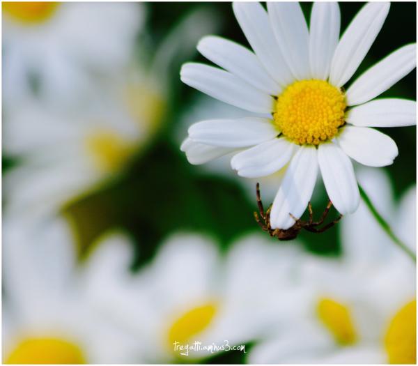 daisy, spider