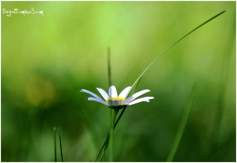daisy, flower, simple