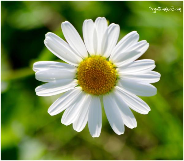 bee, daisy