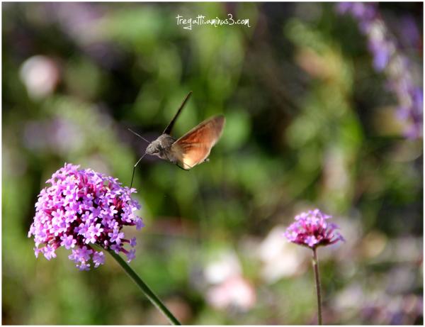 hawkmoth, purpletop vervain