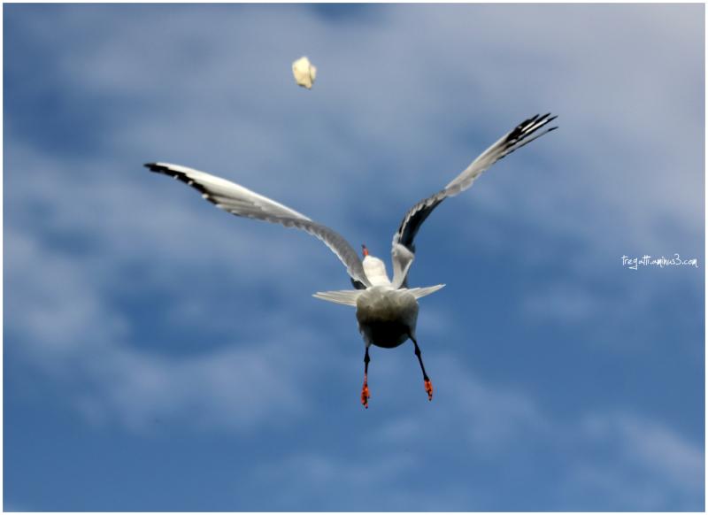 gulls, water