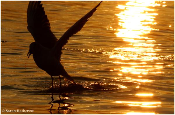gull, lake, sunset