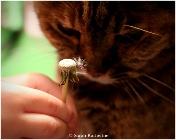 dandelion, cat