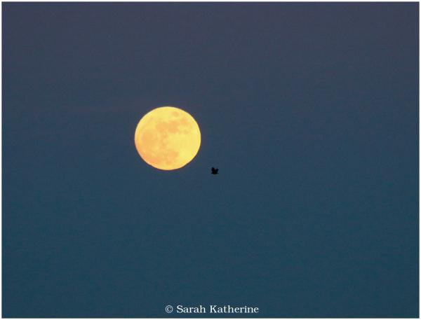 moon, crow