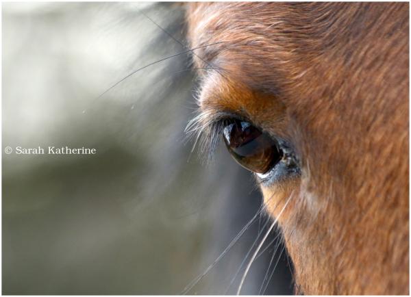 horse, eye