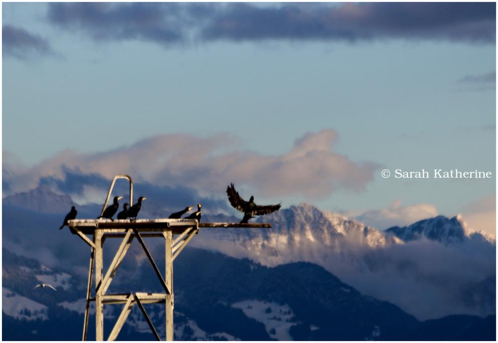 cormorants, snow, mountains