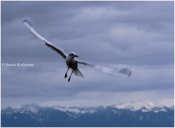 gull, winter, clouds