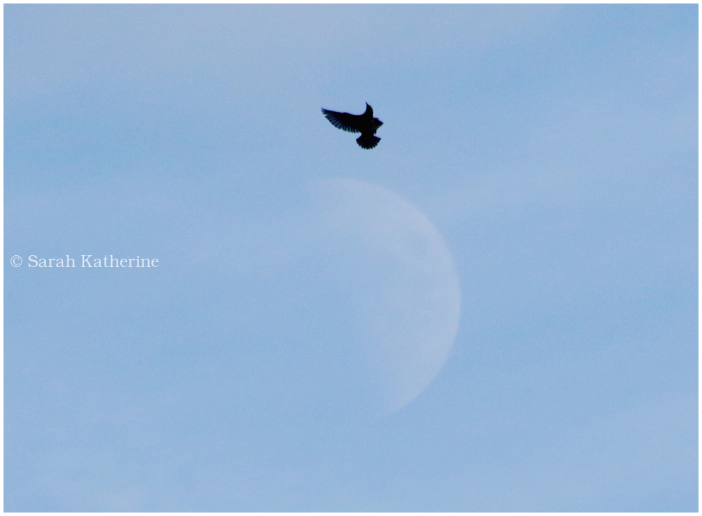 bird, starling, moon
