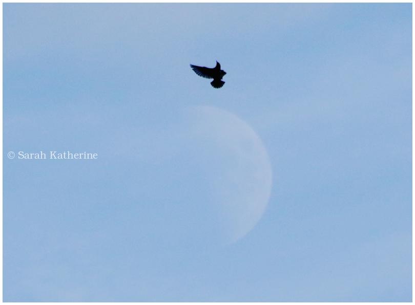 bird, starling, moon