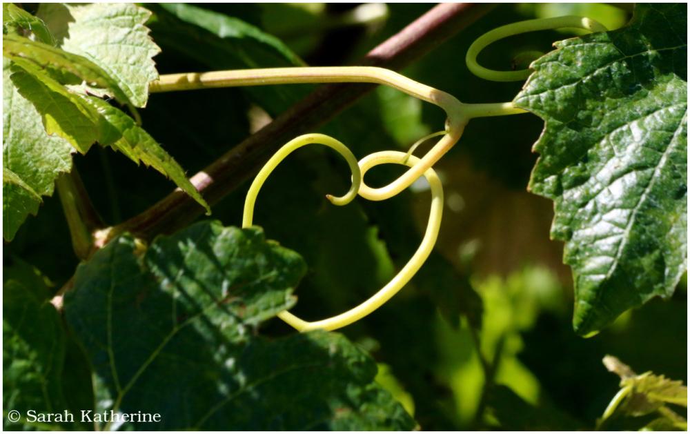 vineyard, heart