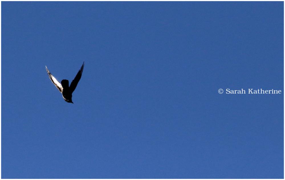 crow, wing light
