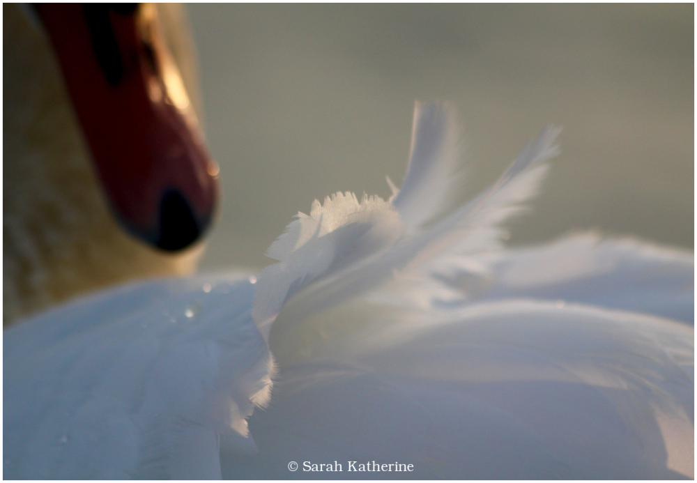 swan, feathers