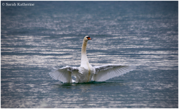 swan, wings, lake