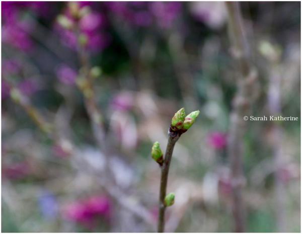 spring, cherry tree, bud