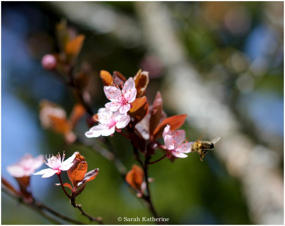cherry blossom, bee