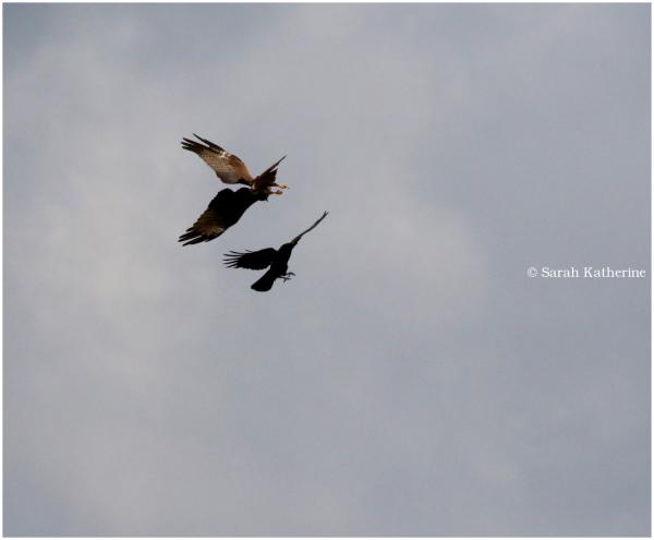 crow, black kite