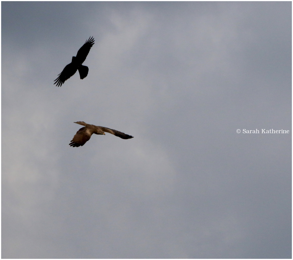 crow, black kite