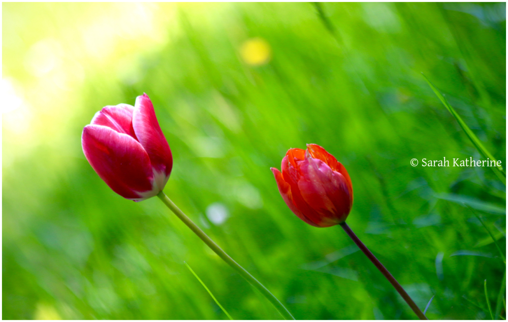 sun, tulips