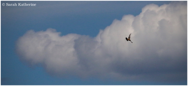 hawk, cloud