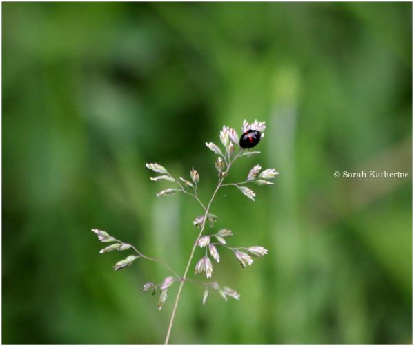 ladybug, grass