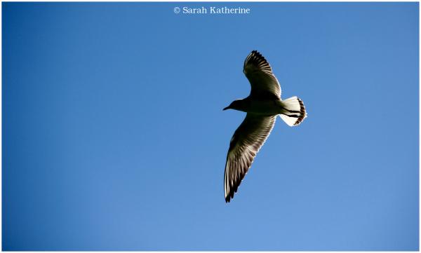 black kite, sun