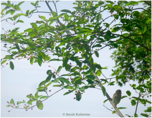 sparrow, sing, tree