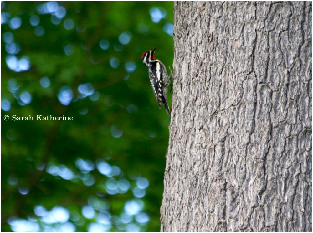 woodpecker, tree