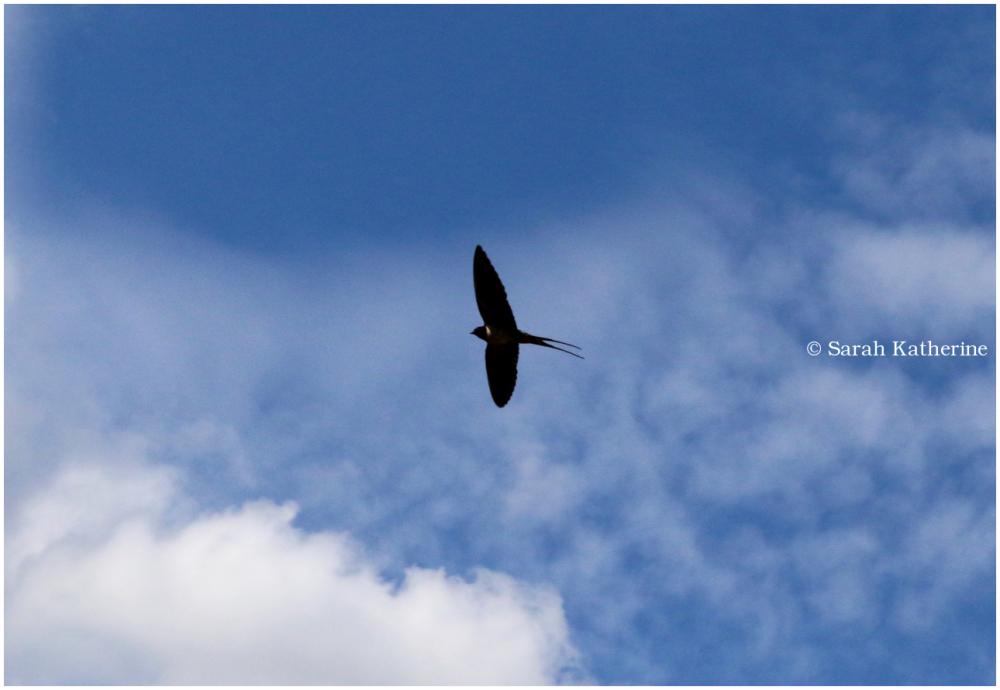 swallow, bird
