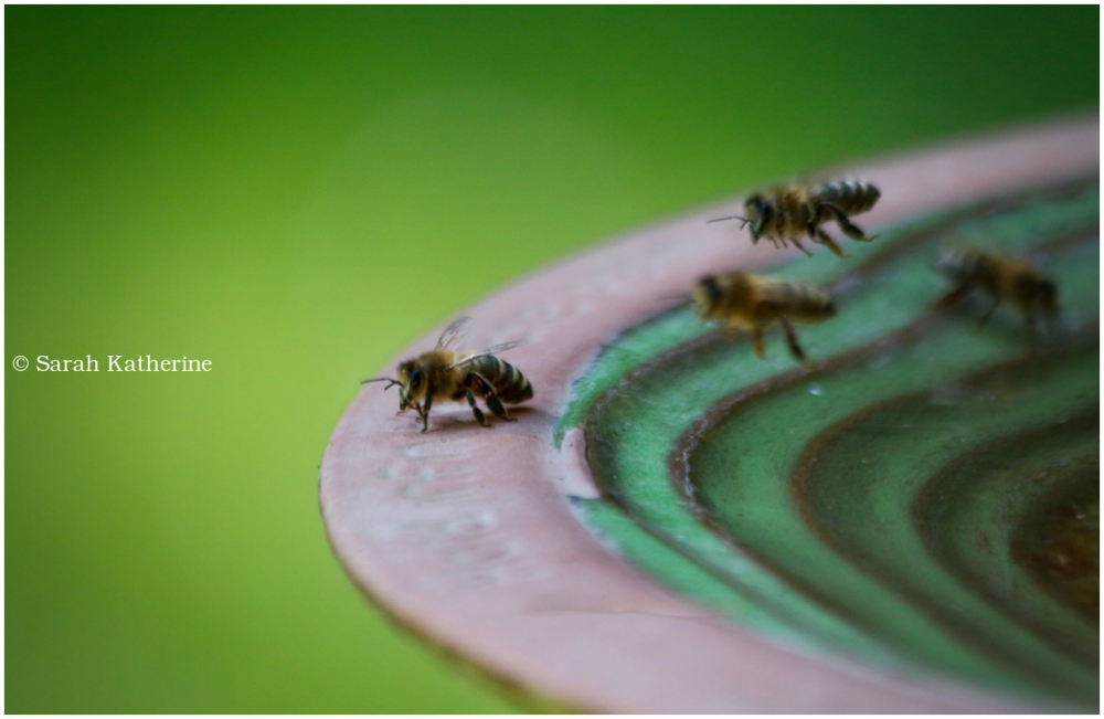 bees, water