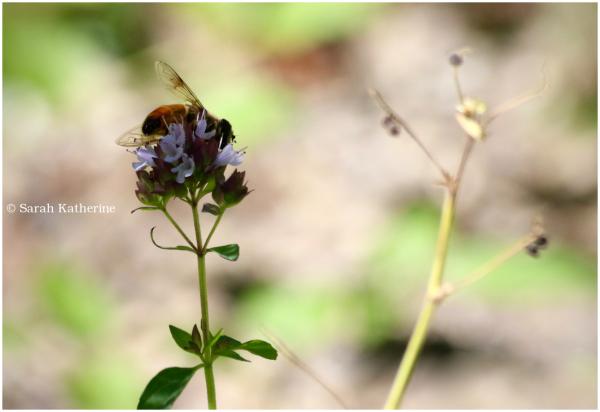 bee, wings, wildflower