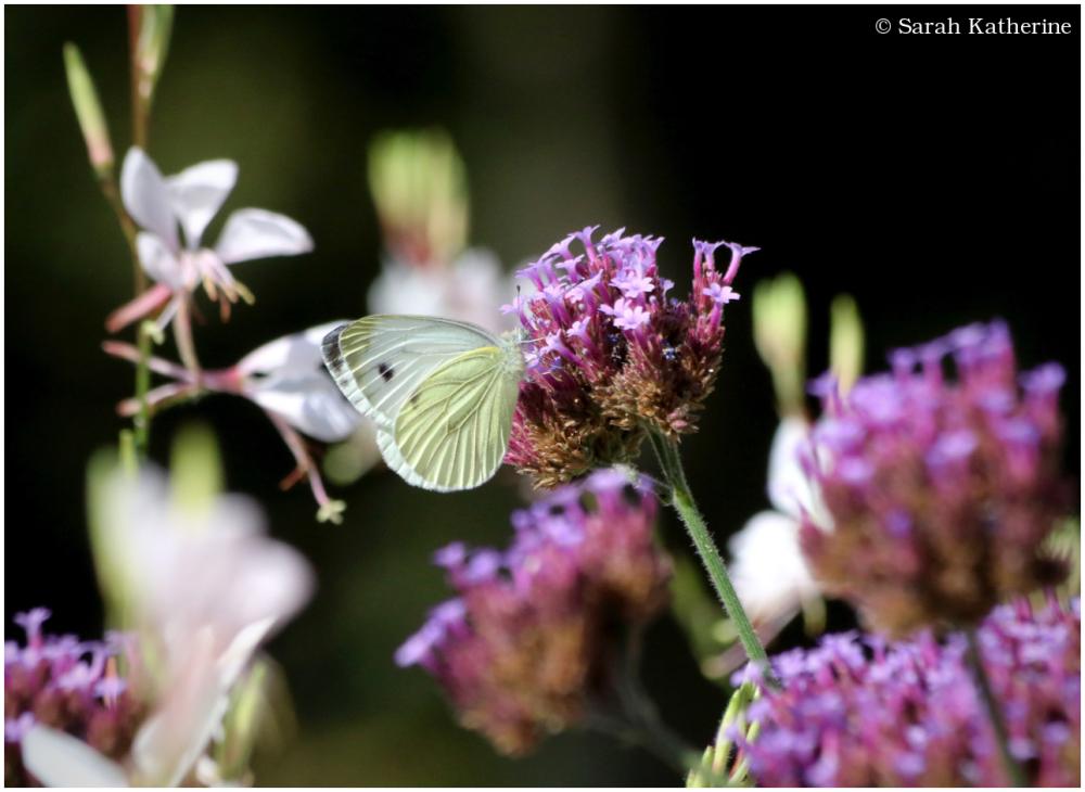 butterfly, verveine