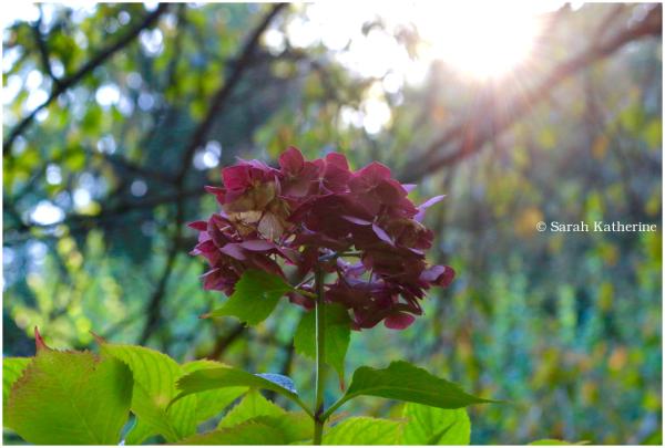 sunlight, hydrangea