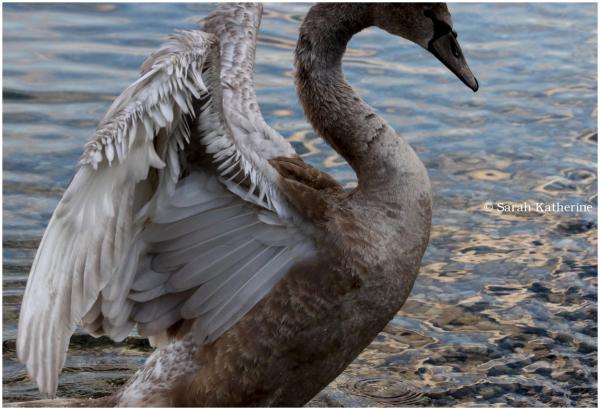 cygnet, swan
