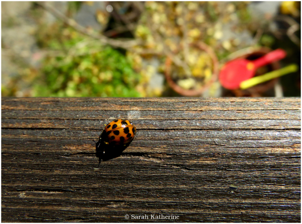 ladybug, autumn